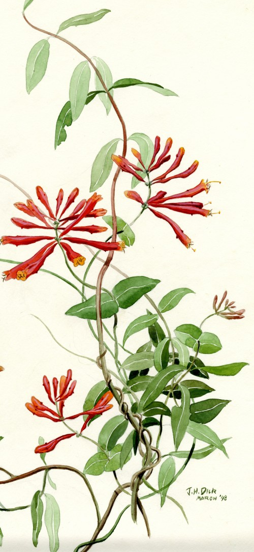 Honeysuckle Vine (Lonerica Americana) by John Henry Dick