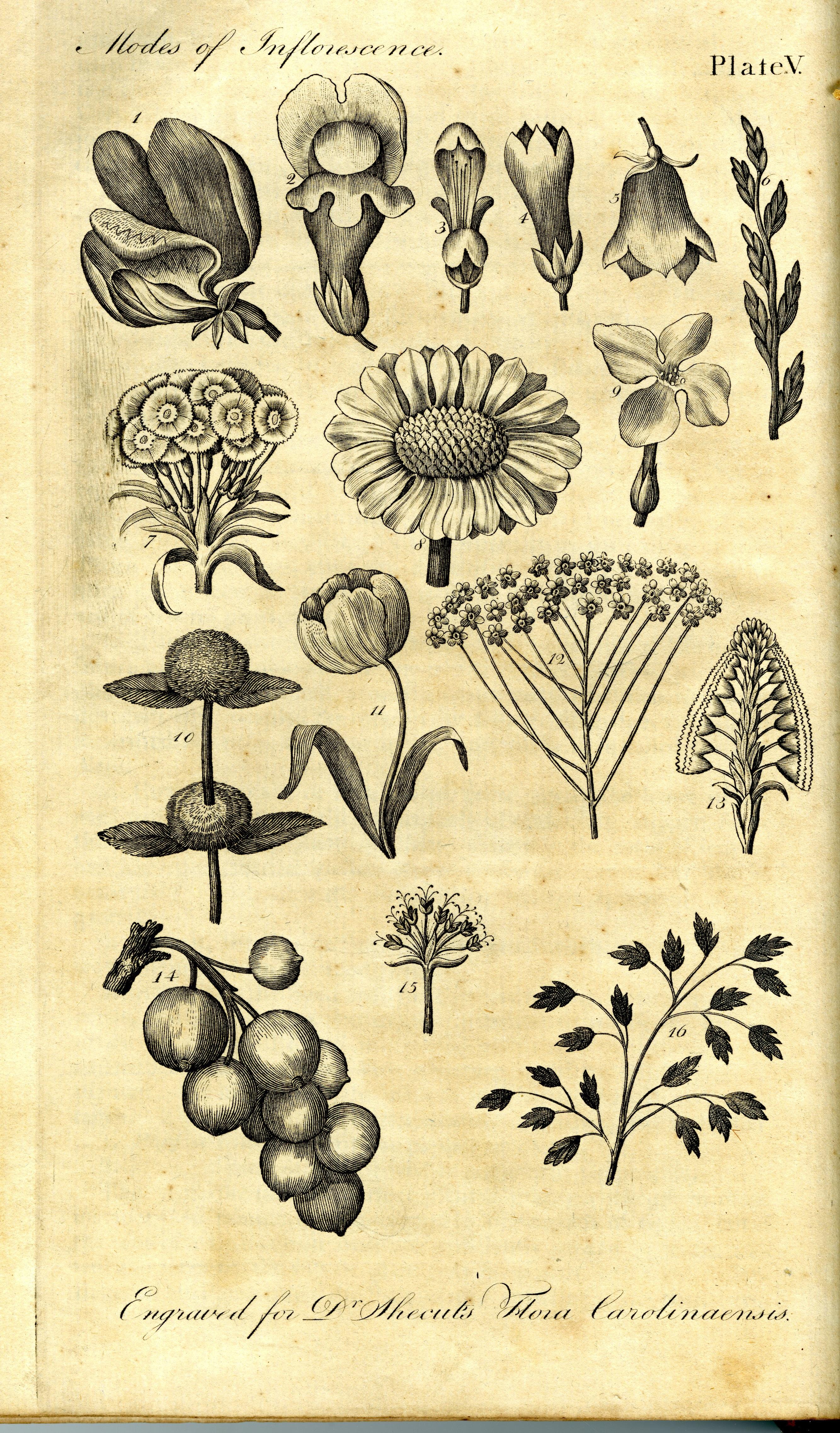 Flora Carolinæaensis by John L.E.W. Shecut